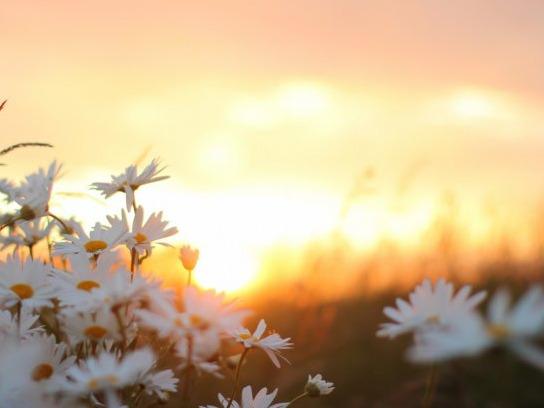 chamomile-summer-sun.jpg