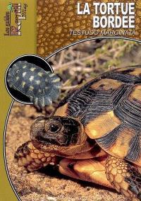 La tortue bordée : Testudo marginata